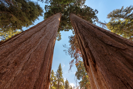 Redwood Trees in Sequoia National Park, California. Stock Photo
