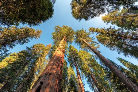 Giant Sequoias in Sequoia National Park, California Sierra Nevada Mountains, United States.
