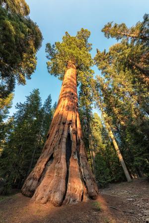 Giant Sequoia in Sequoia National Park, California Sierra Nevada Mountains. Stock Photo
