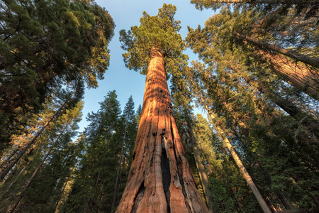 Giant Redwood Forest, Sequoia National Park in California Sierra Nevada Mountains, United States.