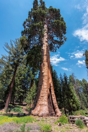 Giant Redwood tree in Sequoia National Park.