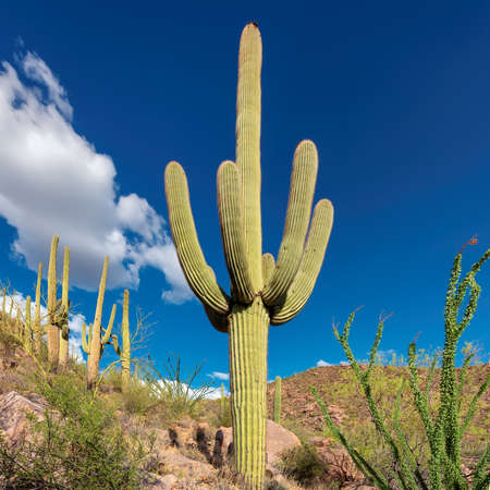 Saguaro Cactus on the Sonoran desert in Arizona 免版税图像