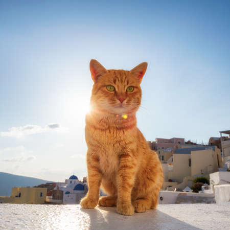 Beautiful red cat against the sunset with blue sky in Santorini, Greece