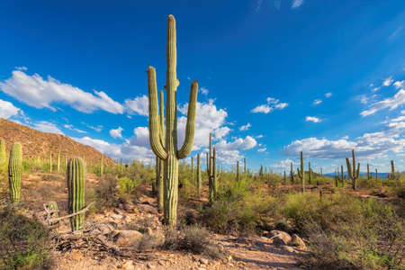 Giant saguaros in Saguaro National Park, Tucson, Arizona, USA 免版税图像