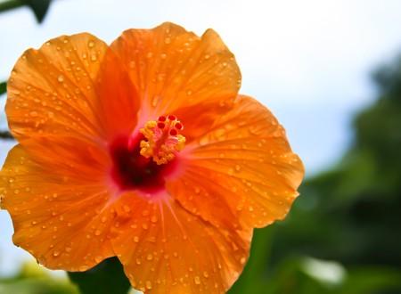 rainfall: beautiful orange flower after rainfall