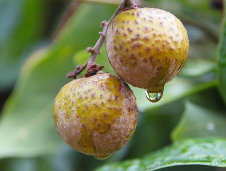 longan on tree with drop after rainfall  photo