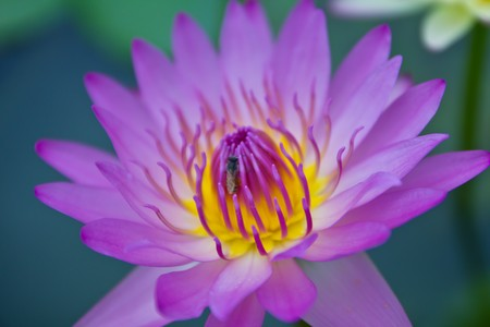pink waterlily Stock Photo - 7550522
