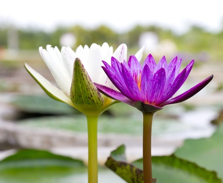 violet and white lotus flower photo