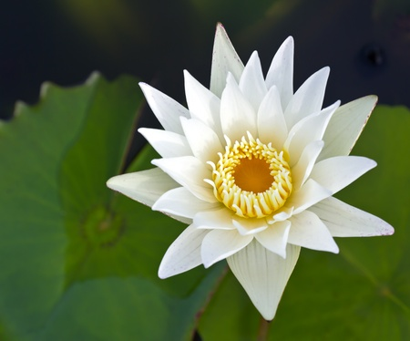watergarden: Closeup white lotus flower in the lake