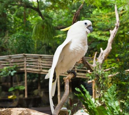 preening: Yellow-crested Cockatoo (Cacatua sulphurea)  or whit parrot bird Stock Photo