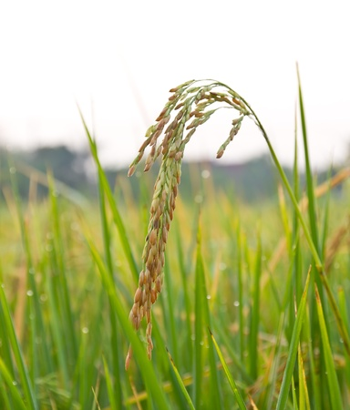 Rice paddy closeup in the morning Stock Photo