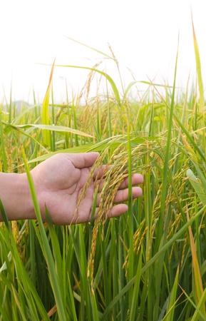 Rice paddy closeup in  hand photo