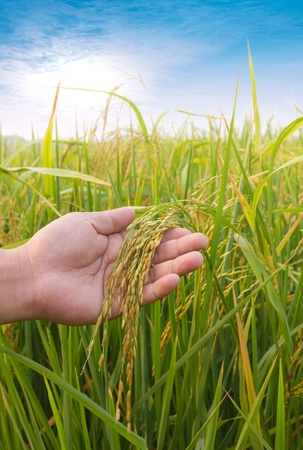 Rice paddy closeup in  hand and beauful blue sky photo