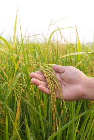 Rice paddy closeup in  hand