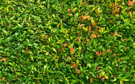 Wall from fresh green leaf nature background photo