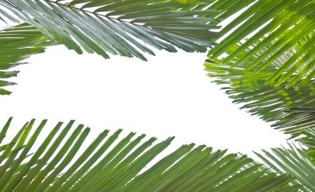 palm leaf on white Stock Photo