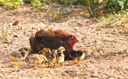 chicken family: Chicken family mom and baby of chicken find to eat something in the ground