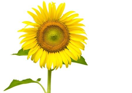 zonnebloem: zonnebloem isoleren op een witte achtergrond