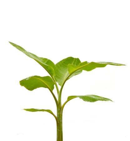 tropical shrub: Banana tree isolated on white