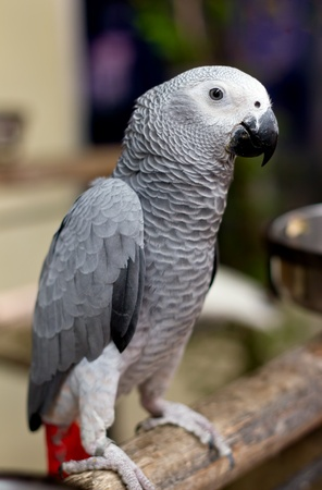 African gray parrot and white face photo