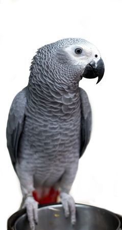 African gray parrot and white face isolated on white photo