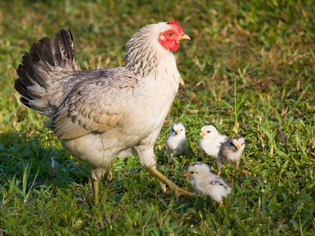chicken mom and chick in green grass Stock Photo