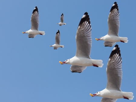 webfoot: Group of seagulls fly and feed at the mouth