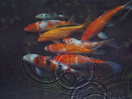 Koi fish with water ripple photo