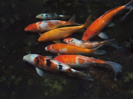 Koi fish Stock Photo - 13032936