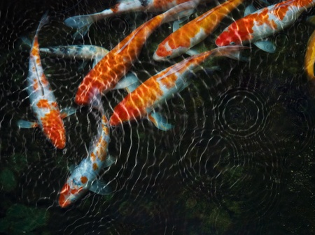 ornamental fish: Koi fish with water ripple