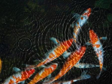 pez carpa: Koi peces con una ondulaci�n del agua