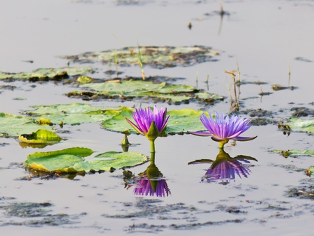 Lotus flower in water and reflect Stock Photo - 13384484