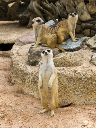 suricata suricatta: Group of meerkat Stock Photo