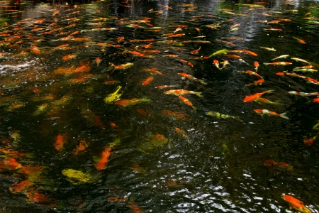 Koi fish in pond at the garden photo