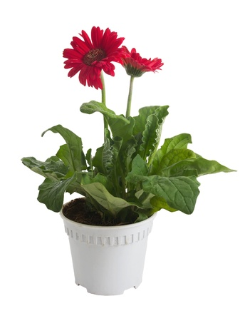 Gerbera flower in pot on white background photo