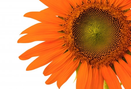 Orange sunflower on white background Stock Photo - 17172175