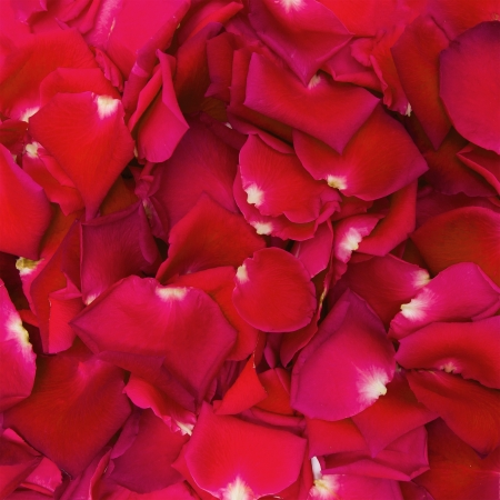Beautiful red rose petals for background photo