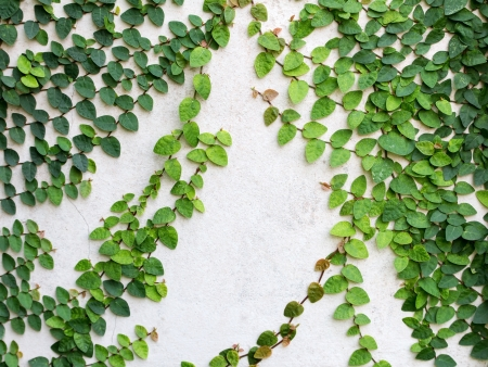 Green leaves creeper plant on the wall for background Stock Photo
