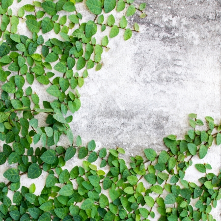 Green leaves creeper plant on the wall for background photo