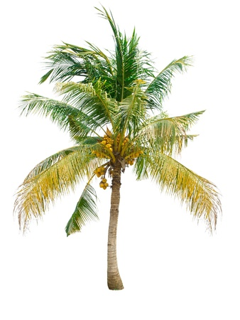 bark palm tree: Coconut tree isolated on white background Stock Photo