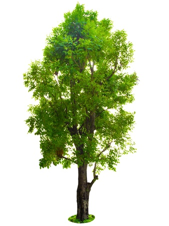 красное дерево: Дерево на белом фоне