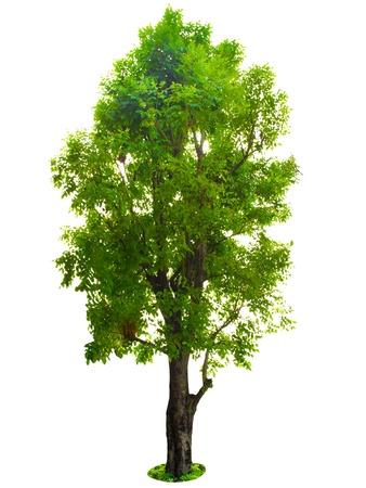 마호가니: 나무는 흰색 배경에 고립