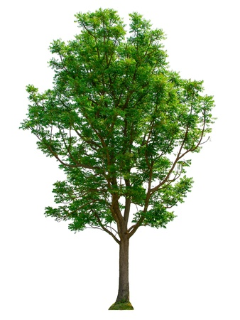Baum auf weißem Hintergrund