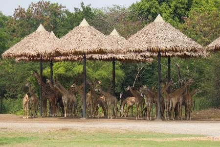 Large herd of giraffe in zoo photo