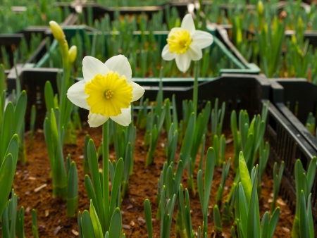 jonquil: Narcissus flower at farm Stock Photo