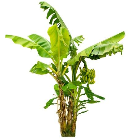 bananenboom op een witte achtergrond
