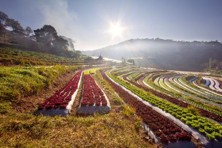 Sunrise over salad vegetable field