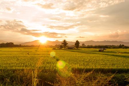 Sunset on green paddy field