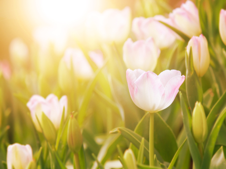 tulip flower in the garden with warm sunlight