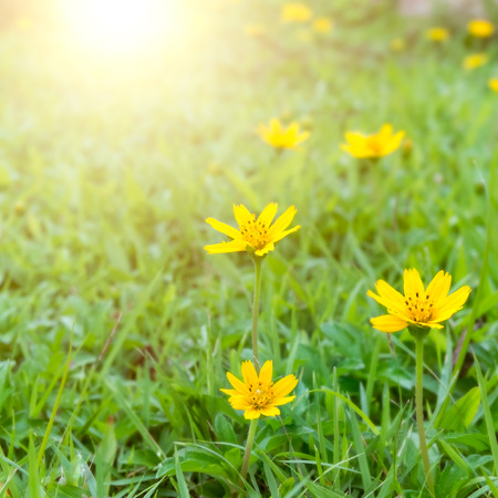 yellow flowers with morning sunlight in spring time